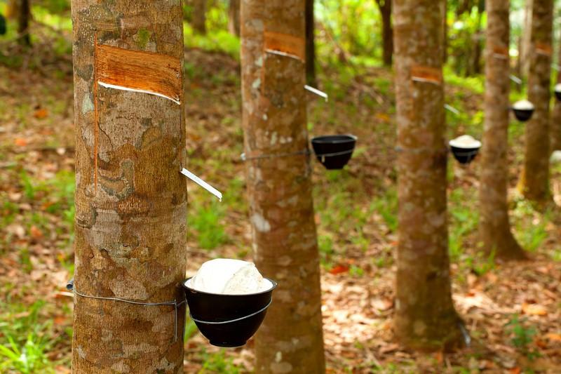 ความแตกต่างระหว่าง ยางสังเคราะห์ กับยางธรรมชาติ - bigstock Tapping Latex 63649480 1 - ไวตัน, แตกต่าง, อุตสาหกรรม, ยางสังเคราะห์, ยางพารา, ยางธรรมชาติ, ยางซิลิโคน, ยาง ธรรมชาติ และ ยาง สังเคราะห์ แตก ต่าง กัน อย่างไร, ยาง, ผลิต, ต้นยาง, viton, sbr, rubber, nbr, natural rubber